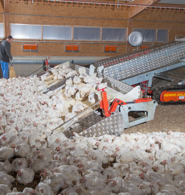 Chicken, Poultry, Broiler Harvesting Machine in a Farm